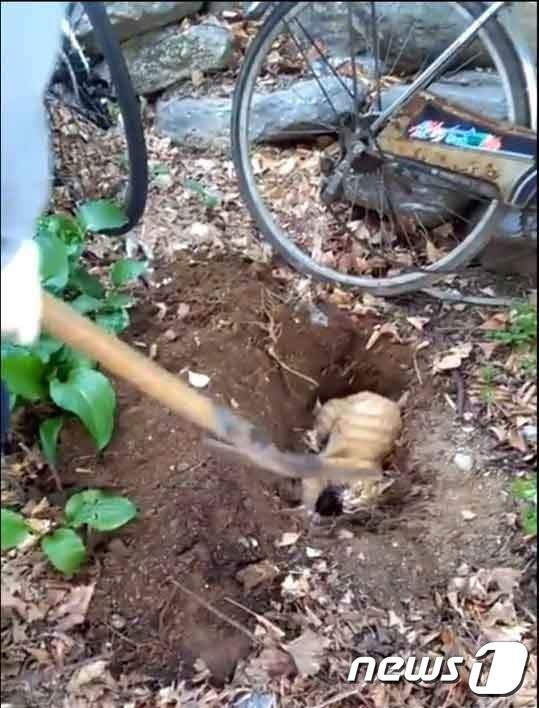 24일 오후 3시30분쯤 서울 동대문구 휘경동의 한 아파트에서 경비원 이모씨(65)가 살아 있는 고양이를 화단 땅속에 파묻은 사건이 발생했다.(사진 페이스북 영상 캡처)© News1