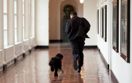 2009년 3월 오바마가 오랜만에 만난 반려견 '보'와 함께 백악관 복도를 달리고 있다.   백악관