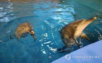 지난 2015년 5월 경기 과천시 서울대공원 해양관에서 언론에 공개된 남방큰돌고래 태산이와 복순이(왼쪽). 해양수산부는 불법 포획된 후 2013년부터 서울대공원에서 보호한 태산이와 복순이를 야생 방류하기로 했다고 밝혔다. 사진=연합뉴스