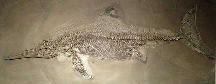 독일 홀츠마덴 채석장에서 발굴된 스테놉테리지우스 속 어룡 화석. 이번 연구는 첨단 분석장치로 화석의 분자구조까지 분석한 결과다. 위키미디어 코먼스 제공.