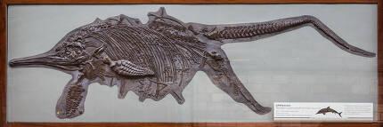 꼬리부터 새끼가 삐져나온 채 화석이 된 어룡 화석. 위키미디어 코먼스 제공.