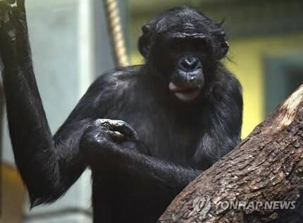 독일 동물원의 보노보 [dpa=연합뉴스]