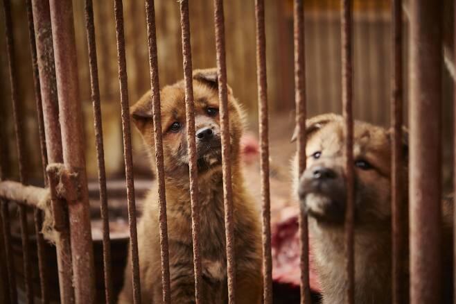식용견 농장에 갇혀 구조를 기다리고 있던 개들 - Humane Society International, HSI 제공