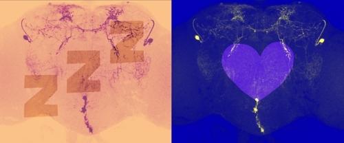 초파리 뇌 속 수면 억제 신경세포. [토머스제퍼슨대 제공]
