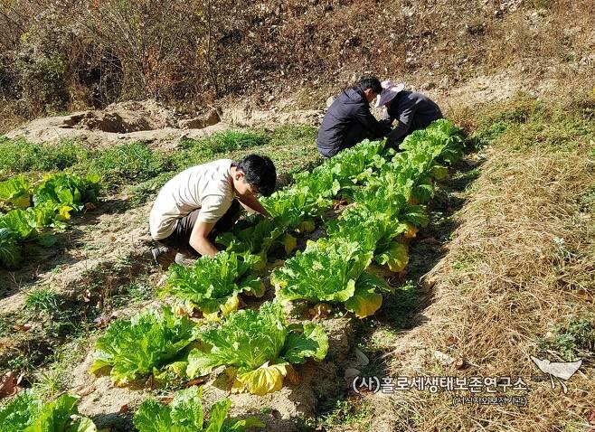 사람의 산속 겨울나기에 꼭 필요한 김장을 하기 위해 배추를 고르고 있다.