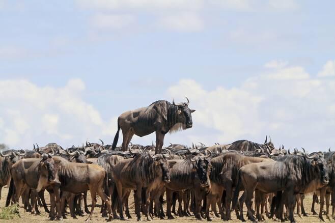 장 자크 알칼레이가 찍은 '동물과의 만남'. 케냐 마사이 마라에서 누 한 마리가 흙무더기 위에 서서 앞을 내다보고 있다.
