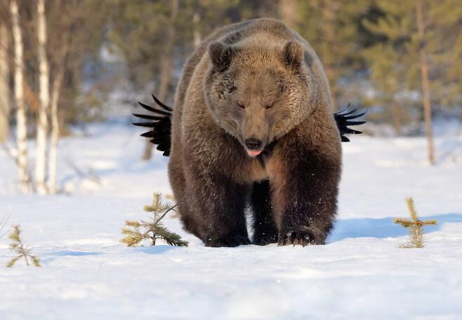 링본 아카가 핀란드 쿠모에서 촬영한 곰과 까마귀. 제목은 '놀리다'. 까마귀가 날개를 펴고 곰 뒤에 있다.