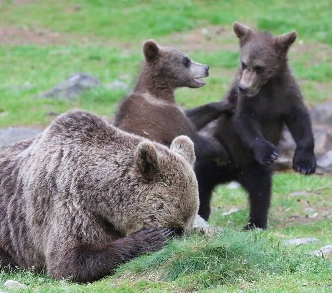 """멜리사 놀란의 작품 '곰이 필요한 것'. """"제발 5초만! 어미 갈색곰이 조금만 쉬지고 한다."""" 핀란드 마틴셀코넨에서 찍었다."""