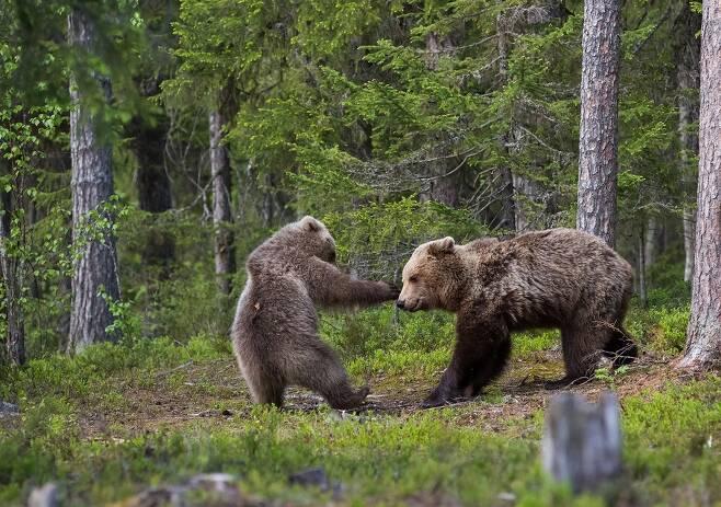 한넬 카이올라의 작품 '녹아웃'. 핀란드의 수오루살미에서 어미곰과 새끼 곰이 놀고 있다.