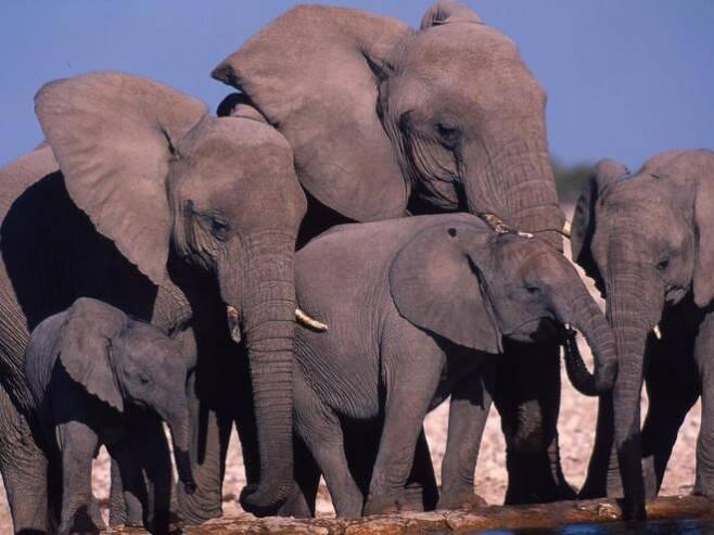 아프리카코끼리 가족[구글 자료사진]