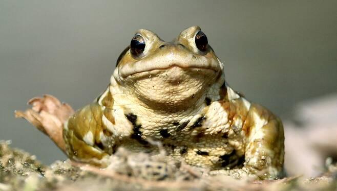 한반도의 두꺼비는 중국에서 왔고 또다시 중국으로 이동해 갔다는 유전적 증거가 나왔다. 2016년 3월 서울 용산구 효창공원 연못 밖으로 나온 두꺼비.  김봉규 선임기자 bong9@hani.co.kr