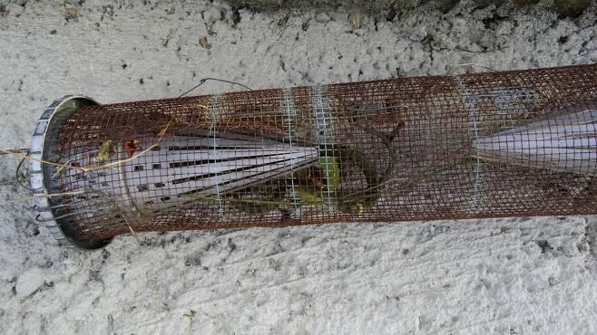 겨울잠을 자는 뱀의 습성을 교묘하게 이용하는 뱀 덫. 이 작은 통발에 수십 마리가 비좁게 얽혀 있기도 하다.