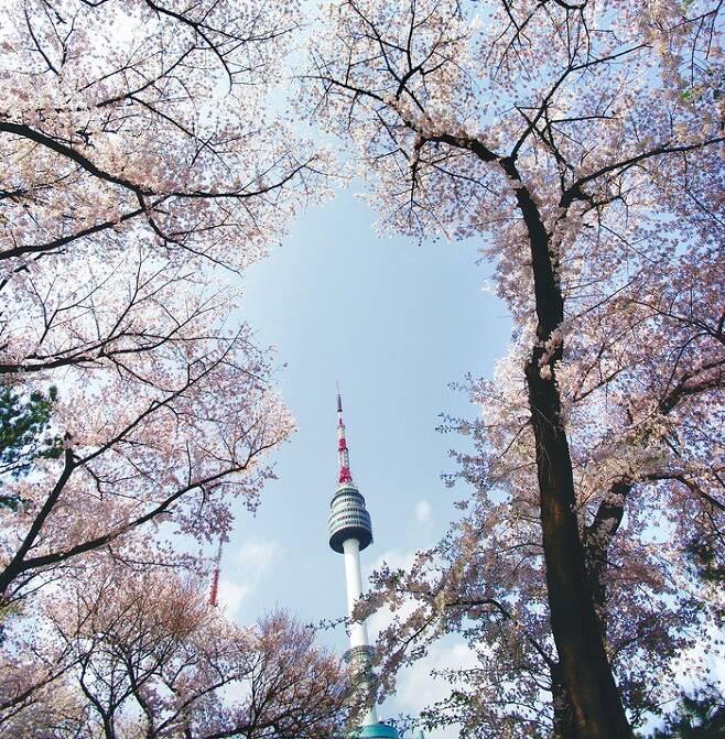 남산 서울N타워 벚꽃