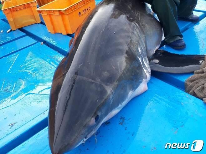 길이 4m, 무게 300kg정도의 백상아리(독자제공)© News1