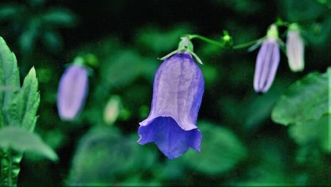금강초롱꽃. 한국특산종으로 동부전선 디엠제트를 대표하는 고산식물 중 하나다. 양구·인제 디엠제트 내부의 지피(GP)로 들어가는 진입로에서 볼 수 있다.