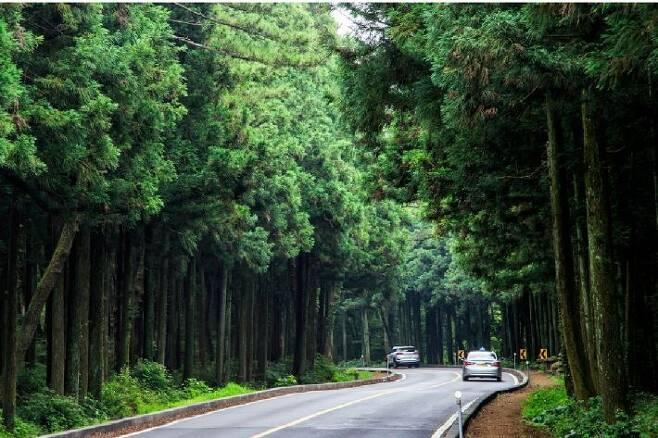 도로 확장공사 이전 모습. 제주관광공사는 이곳을 하늘로 쭉쭉 뻗은 삼나무 숲길이라며 드라이브 하기 좋은 명품 도로라고 소개하고 있디. (사진=제주관광공사 홈페이지)