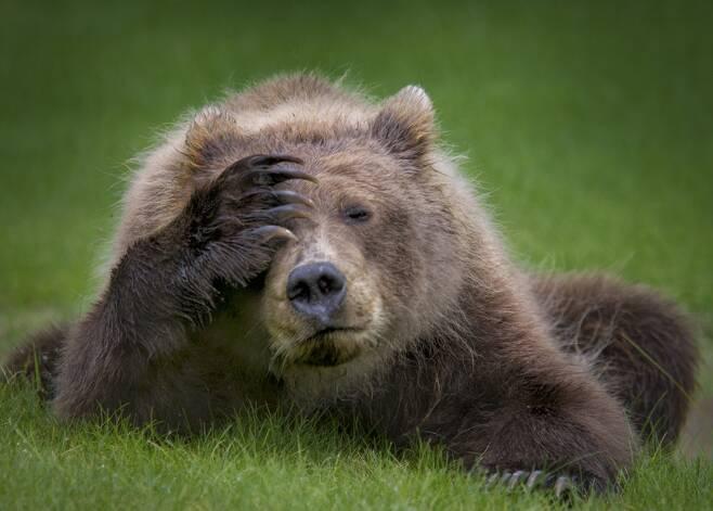 알래스카 클락 호수 인근에 사는 불곰이 고민이 많은 듯 앞발로 머리를 짚고 있다. 제목은 새끼 불곰의 두통. 미국 다니엘 디 에르모의 작품.
