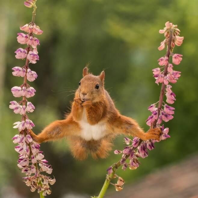 붉은날다람쥐는 쩍벌남? 몸이 가벼운 붉은날다람쥐가 꽃이 달린 가지에서 두 발로 버틴 채 먹이를 먹고 있다. 스웨덴 Geert Weggen의 작품.