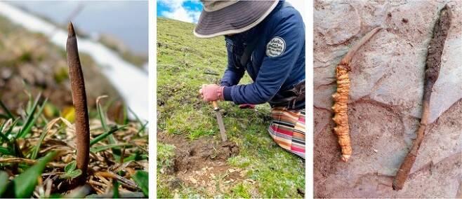 왼쪽부터 눈 녹은 고산지대에서 버섯이 싹트는 중국동충하초, 주민이 캐내는 모습, 포자가 나기 전 상태(왼쪽)가 더 고가로 평가되는 동충하초. 호핑 외 (2018) PNAS 제공.