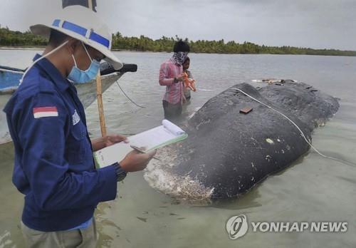 향유고래 사체를 조사 중인 국립공원 관계자들 [AP=연합뉴스]