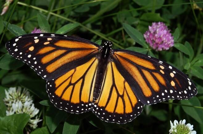 기후변화로 '여행하지 않는 동물들'이 늘어나고 있다. 북미 미국과 캐나다에서 멕시코로 건너가 월동하던 제왕나비 개체군 중 일부가 월동 여행을 하지 않는 사례가 나타났다. 위키미디어 코먼스 제공