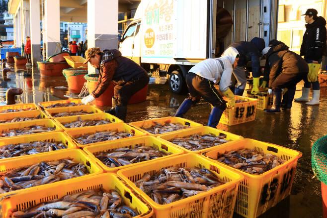 최근 들어 동해안 오징어잡이가 활발하게 이뤄지고 있는 가운데 18일 새벽 양양군 남애항에서 어민들이 잡아 온 오징어를 위판하고 있다. 연합뉴스 제공