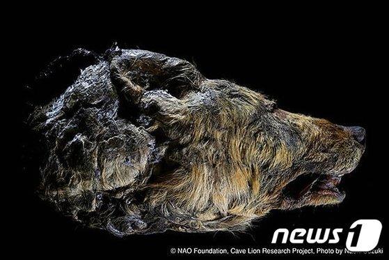 시베리아 동토층에서 나온 4만년 전 늑대 머리. [시베리아 타임스=뉴스1]