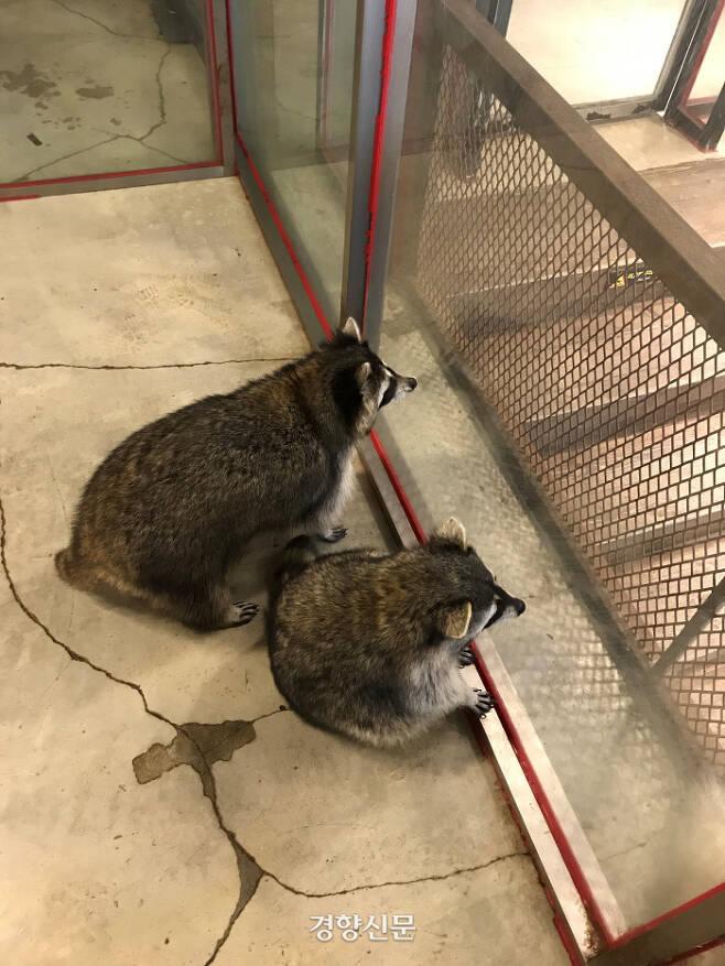 지난 10일 서울 마포구 한 동물카페 내의 라쿤들 모습.