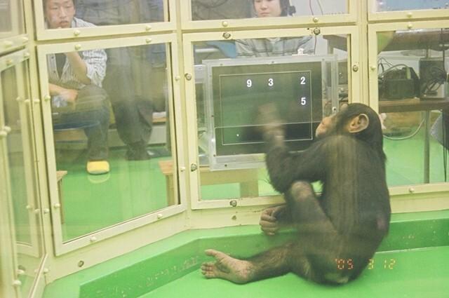 침팬지아유무가'아유무게임'을하고있다.화면에무작위로숫자가뜬뒤순식간에사라지면,작은숫자부터큰숫자순으로위치를찾아누른다. 교토대제공
