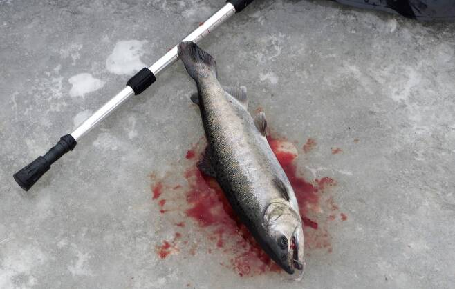 물고기를 가장 잔인하게 죽이는 방식이 공기 중에 그냥 놔두는 것이다. 아가미의 새엽이 쪼그라들면서, 천천히 고통스럽게 죽는다. 강원도 화천 산천어축제에서 잡힌 뒤 빙판 위에 놓인 산천어.