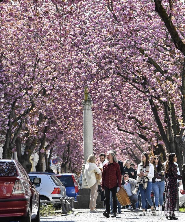 [본=AP/뉴시스] 독일 도시에서 일요일인 5일 정부의 이동제한 요구에도 불구하고 수백 명이 벚꽃구경을 즐기고 있다. 예년의 수천 명에 비해 적지만 사회적 거리두기 방책이 무시되는 모습이다  2020. 4. 5.