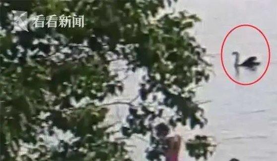 중국 저장성 진화시는 2016년 호수 추이후에 블랙 스완 네 마리를 들여왔다. 그러나 한 마리가 병사했고 다른 한 마리는 지난달 말 한 시민이 붙잡아 탕을 끓여먹는 바람에 이젠 두 마리만 남게 됐다. [중국 환구망 캡처]