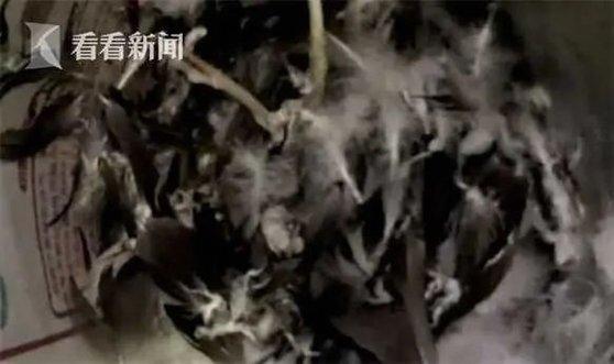 중국 저장성 진화시 경찰이 블랙 스완을 잡아간 범인 우씨의 집에 들이닥쳤을 때는 이미 블랙 스완은 사라지고 뽑힌 깃털만 한 무더기가 남았을 뿐이다. [중국 환구망 캡처]