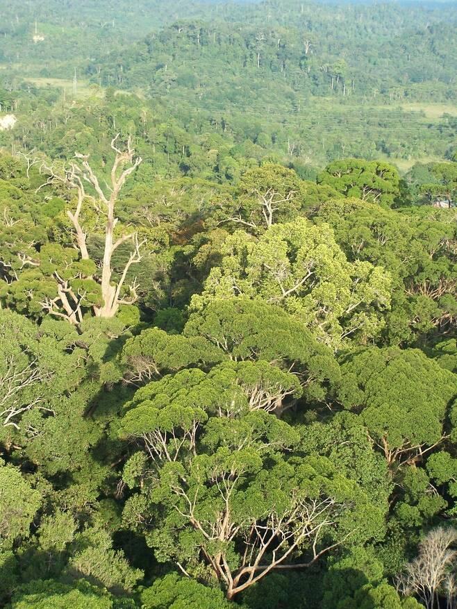 말레이시아 보르네오섬 열대우림 [Dr. Lindsay F. Banin 제공. 재판매 및 DB 금지]