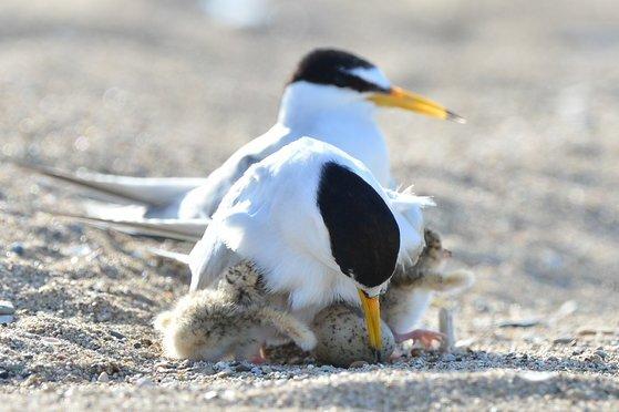 경북 포항시 북구 흥해읍 해안가 둥지에서 쇠제비갈매가 부화한 어린 쇠제비갈매기들을 품고 있다. 뉴스1