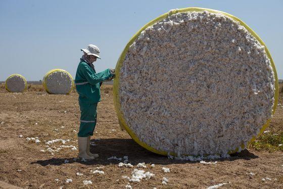 면화를 재배하는 모습. WWF