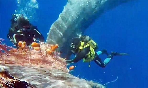이탈리아 해안에서 그물에 뒤엉킨 고래가 해안경비대 도움으로 목숨을 건졌다./사진=이탈리아 해안경비대