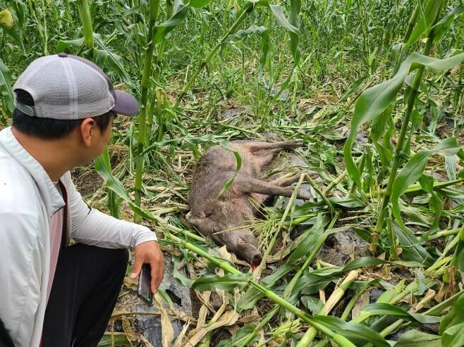 진천 옥수수밭에서 포획된 멧돼지 [촬영 박종국 기자]