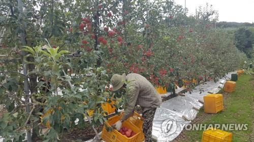 지난해 9월 전북 장수군의 한 과수원에서 사과 수확하는 외국인 근로자 [연합뉴스 자료사진]