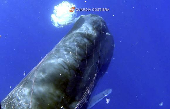 이탈리아령 지중해 섬에서 불법 낚시 그물에 몸이 묶인 채 발견됐다 구조된 향유고래