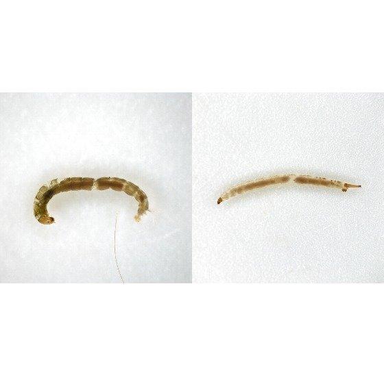 왼쪽부터 등깔따구와 나방파리 유충의 현미경 사진. 국립생물자원관