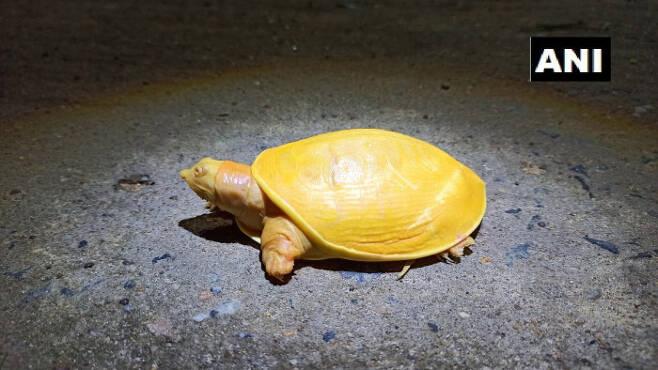 인도 북동부 오디샤주 발라소르 해안에서 발견된 노란 거북이. ANI통신 트위터.