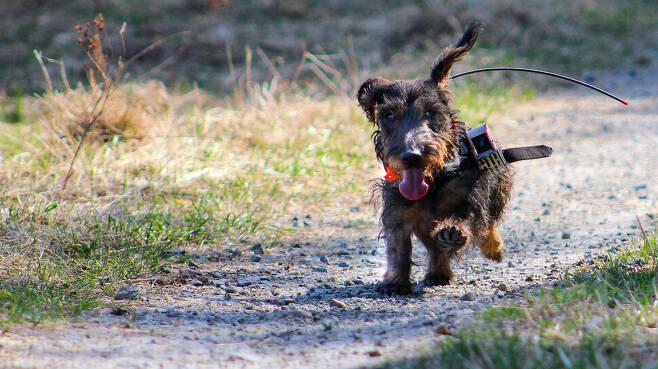 주인이 보이지도 냄새가 나지 않는 숲 속에서 떨어진 개가 주인을 찾아갈 때 지자기를 기준 좌표계로 이용할지 모른다는 연구결과가 나왔다. 연구에 참여한 액션캠과 지피에스 추적기를 부착한 사냥개. 카테리나 베네딕토바 제공