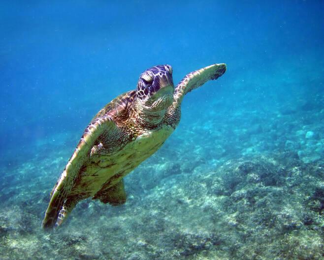 방대한 대륙이나 대양을 이동하는 철새나 바다거북은 지자기를 좌표로 삼는다. 위키미디어 코먼스 제공