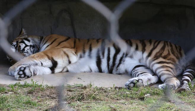 국립 백두대간 수목원 '호랑이 숲'에서 사는 한국호랑이(백두산호랑이) '우리'. 김선식 기자