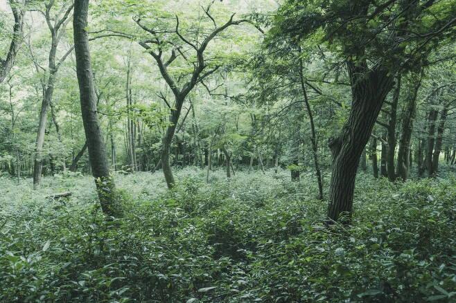 비자나무숲에 들어선 차밭