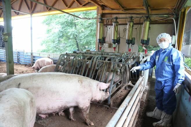 농림축산검역본부 동물보호과 강형욱 수의사가 임신돈들이 사료섭취를 위해 서로 경쟁하지 않도록 충분히 제공된 전자식 급이장치 앞에서 돼지의 습성을 설명하고 있다./ 사진=정혁수