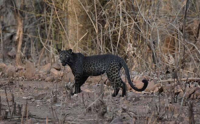 지난 6월 인도 타도바 국립공원에서 포착된 희귀 검은표범(흑표범)