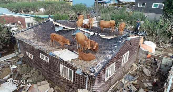 어쩌다 지붕에…우리 좀 도와주소 전남 구례군 구례읍의 한 마을 주택과 축사 지붕에 9일 소들이 올라가 있다. 주변 축사에서 사육하는 이 소들은 전날 폭우와 하천 범람으로 떠다니다 지붕 위로 대피한 이후 물이 빠지면서 지상으로 내려오지 못한 채 머물러 있다.  구례 | 권도현 기자 lightroad@kyunghyang.com