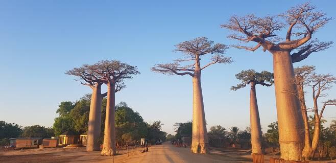 마다가스카르의 바오밥 나무 [주마다가스카르 한국대사관 제공, 재판매 및 DB 금지]